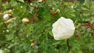 Bud, rose, white, drops