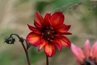buds, flower, petals, Red, the stem, Dahlia