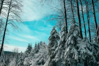 winter, spruce, trees, snow