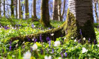 nature, spring, trees, trunks, grass, primroses