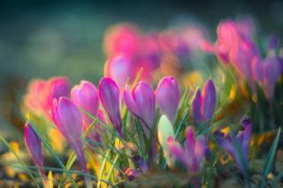 nature, spring, flowers, primroses, crocuses, leaves, bokeh