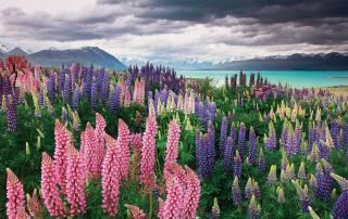 příroda, krajina, hory, jezero, Nový Zéland, текапо, lupins, květiny, nebe, mraky, Sarah Sisson
