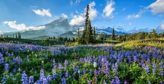 дерева, квіти, гори, поляна, Національний Парк Маунт-Рейнір, люпин, Національний парк Маунт-Рейнір