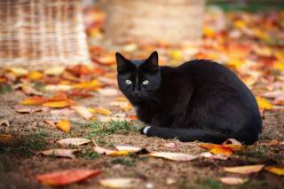 autumn, cat, cat, view, leaves