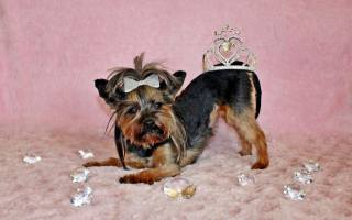 crown, decoration, dog, терьер