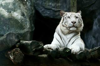 Animal, predator, tiger, white, stones, logs