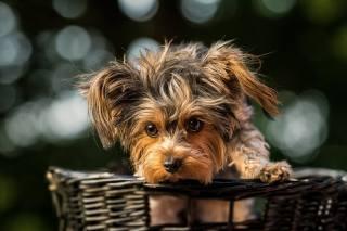 Animal, dog, dog, йоркшир, Yorkshire Terrier, basket, bokeh