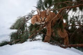 nature, winter, snow, branches, pine, Animal, predator, cub, lynx, Caracal, view