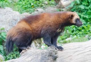 animals, Wolverine