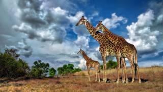тварини, жираф