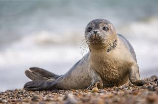 seal, fins, animals