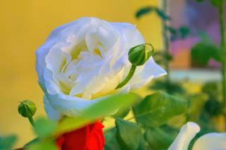 rose, leaves, Bud, flower