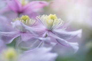 Jacky Parker, jaro, květiny, plamének, makro