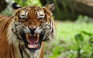 тигр, кішка, хижак, лють