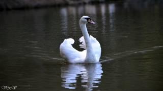 krása, Labuť, na jezeře