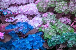 summer, flowers, hydrangea