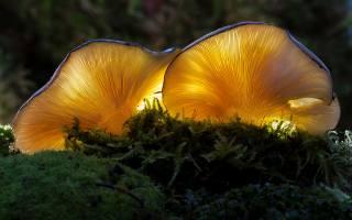 гриби, світіння, сироїжка, мох