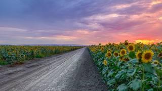 slunečnice, cesta