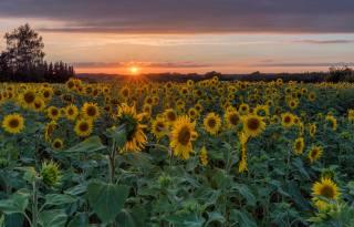 Německo, slunečnice, pole, západ slunce, Herforst, slunce, příroda