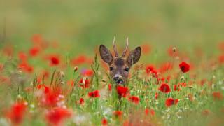 příroda, Zvíře, jelen, hlava, květiny, maki