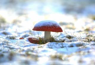 трава, сніг, гриб, мухомор, мороз