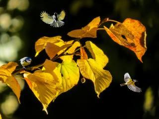příroda, podzim, větvička, listy, Lípa, ptáci světa, ptáci, sýkorky, boke