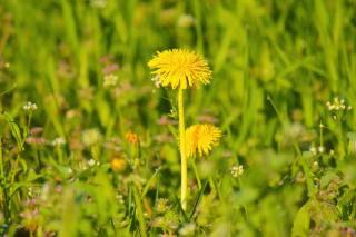 pampeliška, tráva, jaro