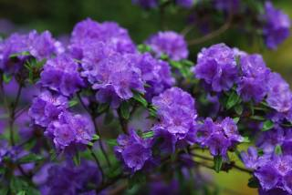 květiny, větvičky, Fialová, Azalky, azalea, рододендроны, květiny, pobočky, fialová, azaleas, azalka, rhododendrons