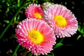 heřmánek, květiny, jaro, zahrada, příroda, Макрос