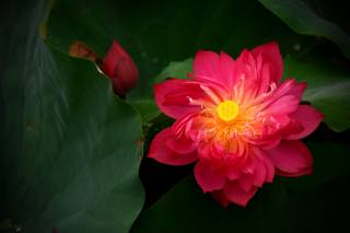 Цветы Лотоса, Červená, léto