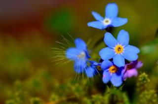 květiny, forget-me, makro, пушинка