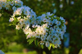 větvička, strom, květy