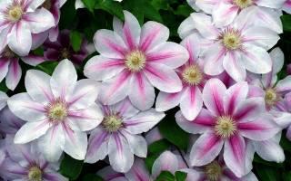 plamének, белые розовые лепестки, kapky, vody