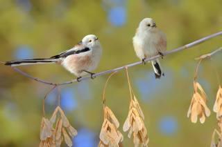 nature, branch, birds, a couple, Vlad Vladilenoff