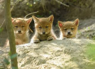 animals, puppies, puppies, койоты, the cubs, nature, stone
