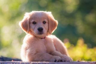 Animal, dog, dog, puppy, Retriever, Golden, bokeh