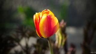 květina, krásně, jaro