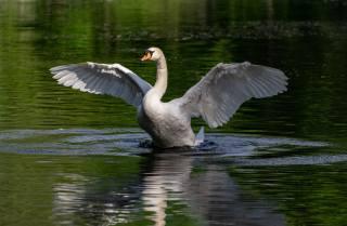 птица, вода, Лебедь, крылья