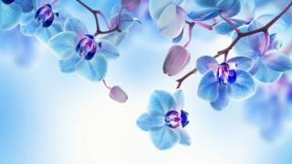 Орхидея, синий, фон, цветы