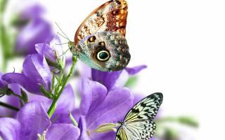 бабочки, белый, фон, цветы