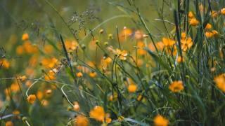трава, цветы, желтый, поле, дикий