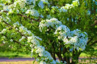 větvička, květiny, strom, listy