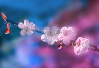 třešeň, větvička, kvetoucí