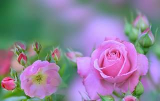лето, роза, боке
