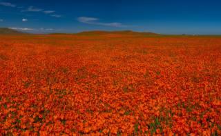 поля, мак, багато, Червоний, природа, квіти