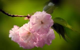 сакура, цвітіння, весна