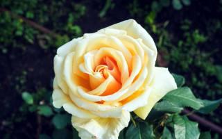 роза, макро