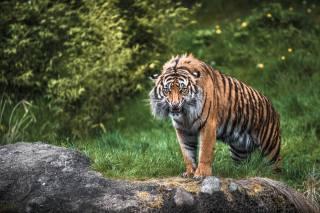 tygr, dravec