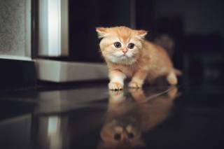 zázvor, kotě, odraz