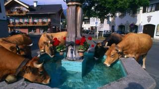 město, Fontána, krávy, pití